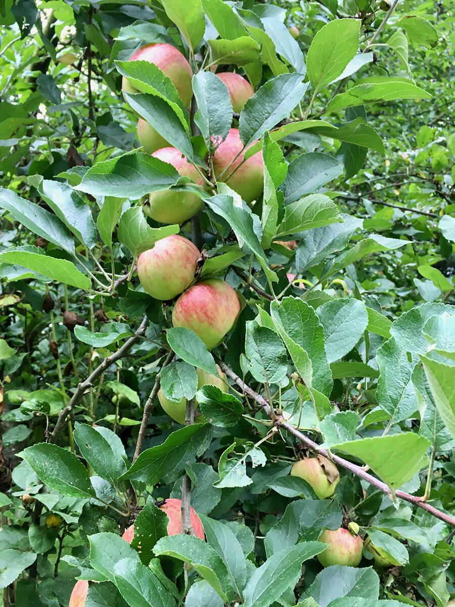 Äpfel am Baum für Obstkuchen