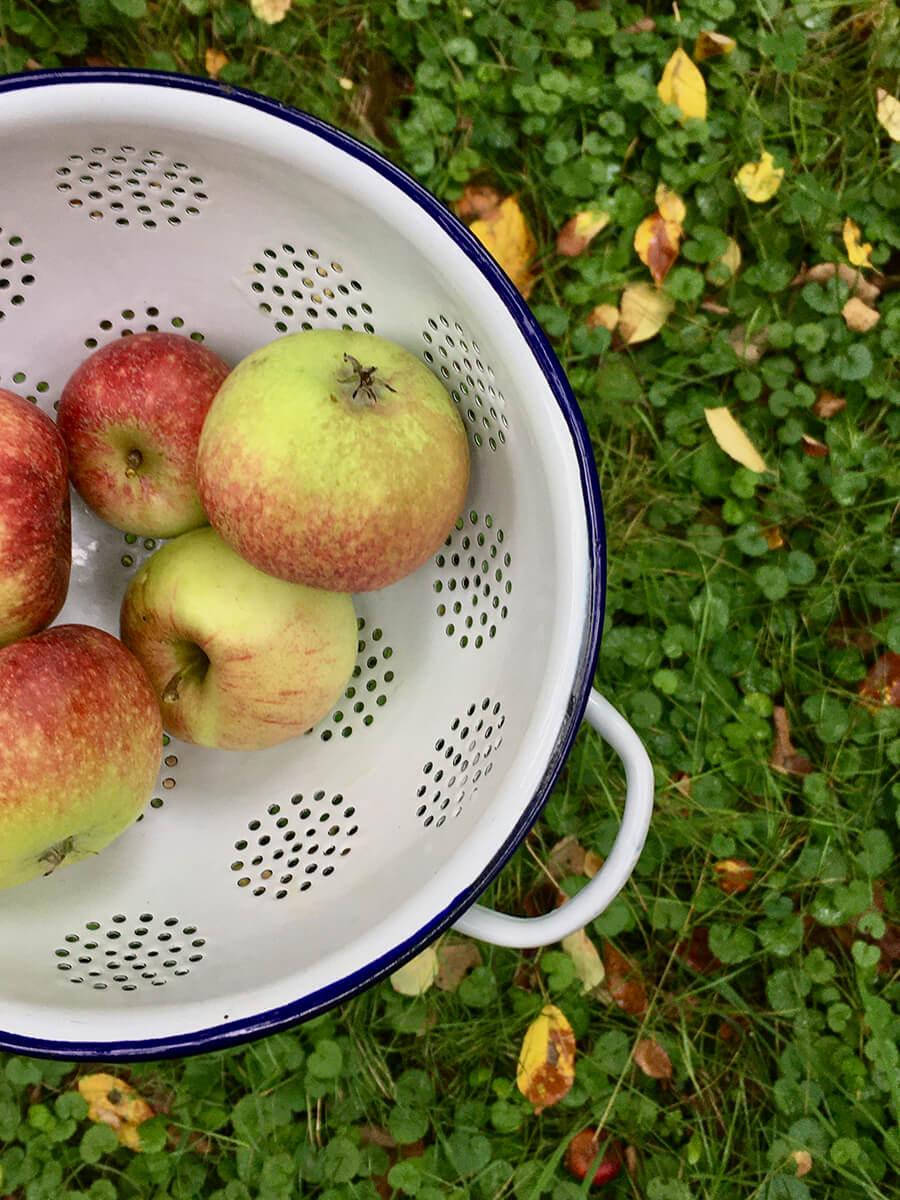 Emaillesieb mit frisch gepflückten Äpfeln für Obstkuchen