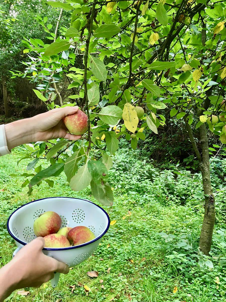 Äpfel pflücken vom Baum für Obstkuchen